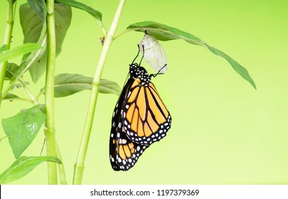 Monarch butterflie (Danaus plexippus) gets out of the cocoon and dries its wings. The butterfly pupa was riveted to the leaf of the plant - Asclepias curassavica.