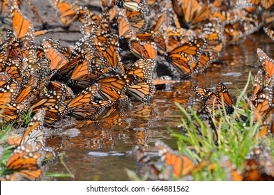 Monarch Butterflies around water on the ground, Michoacan, Mexico