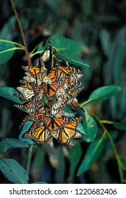 Monarch butterflies (Danaus plexippus). Migratory from Southern Canada to central Mexico, in January they can be found in southern California. Santa Barbara, California, USA.