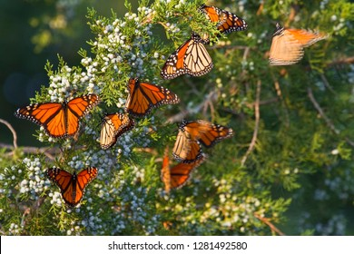 Monarch butterflies (Danaus plexippus) roosting in Eastern Red Cedar tree (Juniperus virginiana), Prairie Ridge State Natural Area, Marion, Illinois, USA.