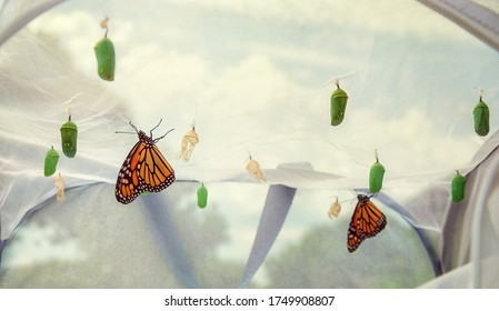 Monarch butterflies emerging in butterfly raising habitat. Several chrysalises hanging from the cage ceiling. Emerged butterflies drying their wings.