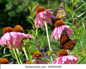 Monarch butterflies and flowers in garden on bank of the Lake Ontario in Toronto, Canada, August 8, 2017