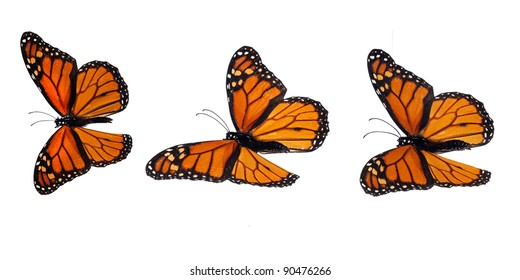 Monarch butterflies, flying positions, upperside. Stacked macro photograph, so it is overall sharp and can be inserted everywhere.