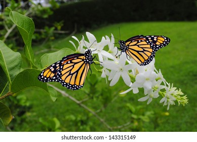 Monarch butterflies Latin name Danaus plexippus