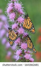 monarch butterflies on blazing star liatris