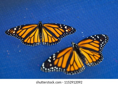 Monarch butterflies on blue background. The focus is on the left one.