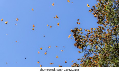 Monarch Butterflies on the tree branch and flaying in the air with blue sky in background at the Monarch Butterfly Biosphere Reserve in Michoacan, Mexico, a World Heritage Site.