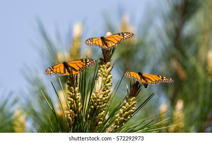 Monarch Butterflies Perched on Monterey Cypress Tree. Monarch Grove Sanctuary, Pacific Grove, California, USA.