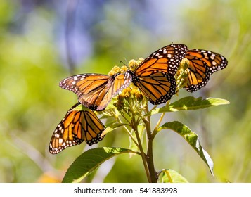 Monarch butterflies perform annual migrations across America which have been called one of the most spectacular natural phenomena in the world. Starting in September and October they fly to Mexico.