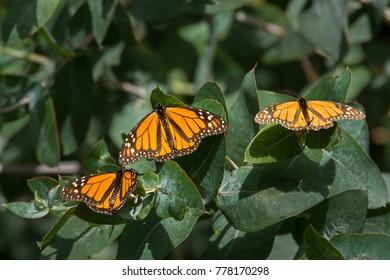 Monarch Butterflies at Pismo Beach Monarch Butterfly Grove
