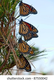 Monarch butterflies resting during migration