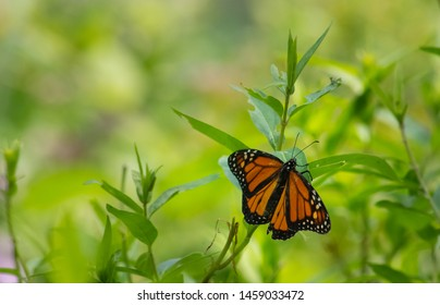 Monarch Butterfly attached to weed