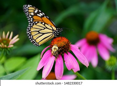 A monarch butterfly and a bee pollinating a pink coneflower