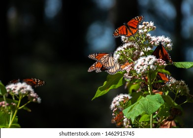 Monarch Butterfly Biosphere Reserve, Michoacan State, Mexico