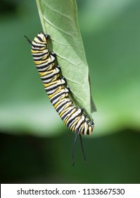 Monarch butterfly caterpillar with black, yellow, and white stripes is feeding on a green leaf against a light and dark green background.