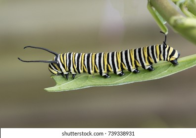 Monarch butterfly caterpillar with black, yellow, and white stripes is nibbling on a green milkweed leaf against a blurred brown background.