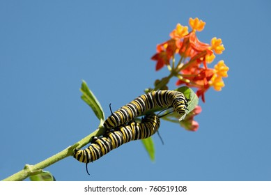 Monarch butterfly caterpillar feeding on milkweed plant on blossom