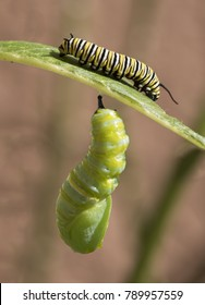 Monarch butterfly caterpillar hooked under a milkweed leaf is transforming to a chrysalis while a young caterpillar nibbles the topside of the leaf