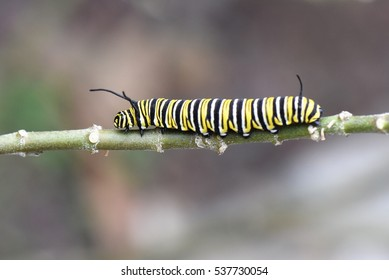 Monarch butterfly caterpillar on a twig