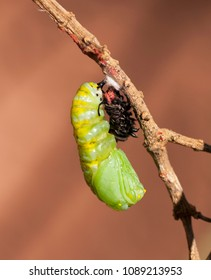 Monarch butterfly caterpillar in process of transforming to a chrysalis against a brown background.