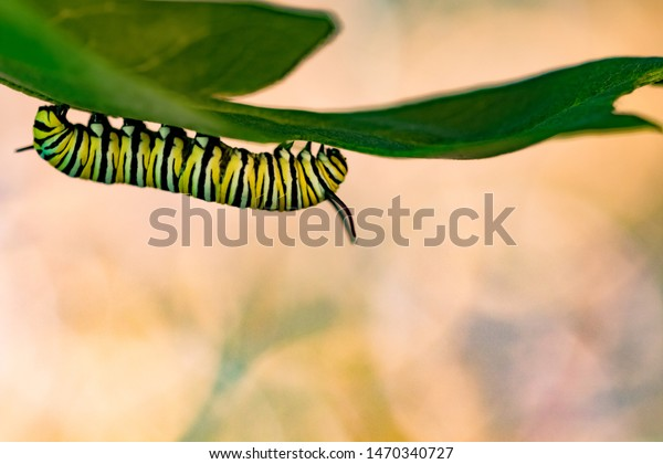 Monarch butterfly caterpillars macro shot