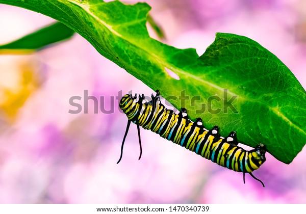 Monarch butterfly caterpillars macro shot