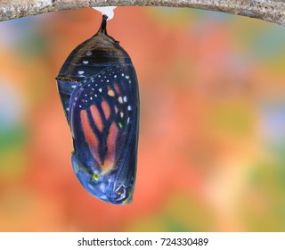 A Monarch butterfly chrysalis in the late stage of development.