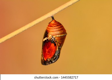 Monarch Butterfly Chrysalis - Stock image