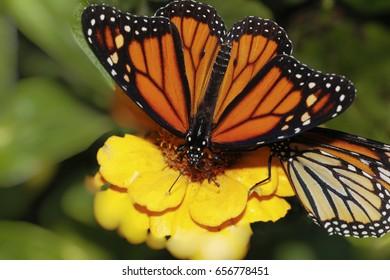 Monarch butterfly close up macro shot