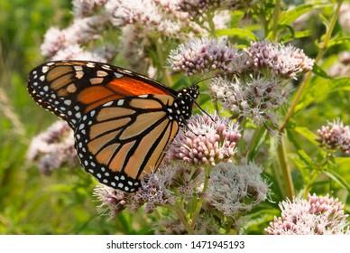 Monarch butterfly closeup feeds on joe pye weed in a wildflower prairie garden
