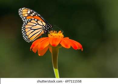 Monarch Butterfly collecting nectar from a bright orange flower. Rosetta McClain Gardens, Totonto, Ontario, Canada.
