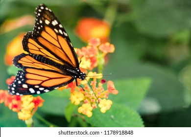 Monarch Butterfly - Common Tiger female on a flower - Green Background