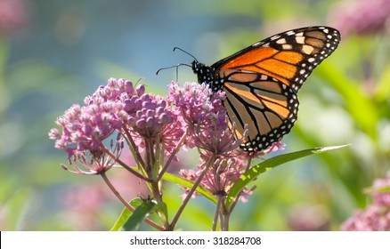 Monarch butterfly (danaus plexippus), backlit by the morning sun, perched on pink swamp milkweed flowers (asclepias incarnata)