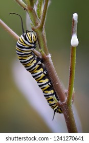 Monarch butterfly (Danaus plexippus) caterpillar feeding on its host plant.