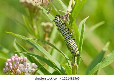 Monarch butterfly (Danaus plexippus) caterpillar on Swamp Milkweed (Asclepias incarnata), Marion, Illinois, USA.