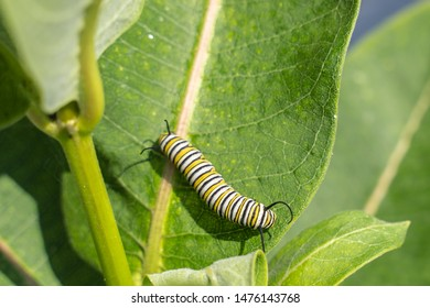 Monarch butterfly (Danaus plexippus) caterpillar munching away on milkweed leaf in late summer.
