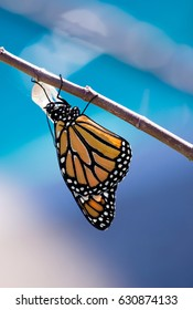 Monarch butterfly (danaus plexippus) emerging from the chrysalis. Blue background with copy space.