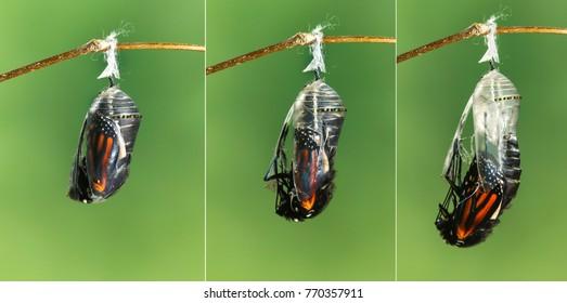 Monarch butterfly Danaus plexippus emerging from chrysalis to butterfly