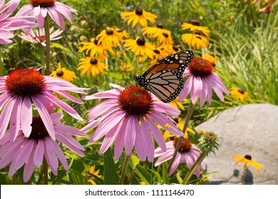 Monarch Butterfly (Danaus plexippus) feeding on pink and yellow perennial coneflowers in a prairie garden