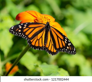 Monarch butterfly (Danaus plexippus) feeding on Mexican sunflower in the fall, showing the upper side of the wings. Natural green background.