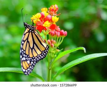 The Monarch butterfly (Danaus plexippus) feeding the nectar from the green flower.