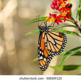 Monarch butterfly (Danaus plexippus) feeding on tropical milkweed flowers in the autumn garden. Copy space.