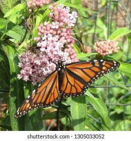 Monarch butterfly (Danaus plexippus) gathering nectar on swamp milkweed (Asclepias incarnata) in northern New Jersey in July 2018