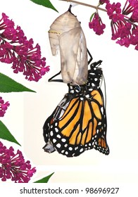 A Monarch Butterfly (Danaus plexippus) just moments after coming out of its chrysalis.