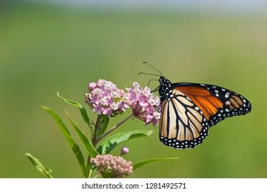 Monarch Butterfly (Danaus plexippus) male on Swamp Milkweed (Asclepias incarnata), Marion, Illinois, USA.
