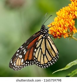 Monarch butterfly (Danaus plexippus) nectaring on butterfly weed - Ontario, Canada
