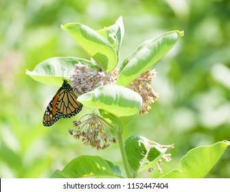 Monarch butterfly (Danaus plexippus) on pale pink flower of common milkweed plant (Asclepias syriaca)