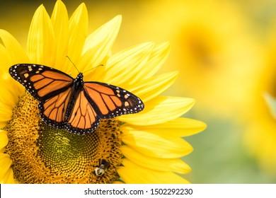 Monarch Butterfly, Danaus Plexippus, on bright yellow sunflowers on a sunny summer morning