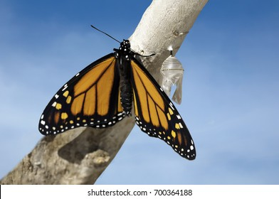 Monarch butterfly  (danaus plexippus) that has just emerged from chrysalis cocoon