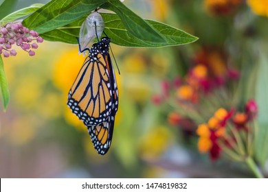 Monarch Butterfly, Danaus Plexppus, drying wings from Chrysalis, yellow flowers background